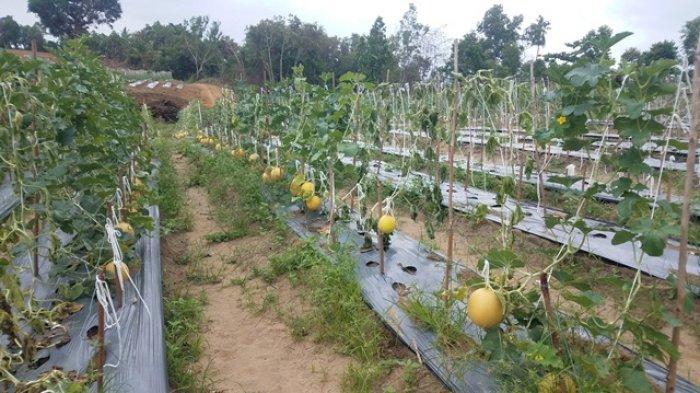 Dampak Pandemi Covid-19 Bikin Harga Melon Premium Jepang Anjlok, dari Rp 684 Juta Jadi Rp 16 Juta