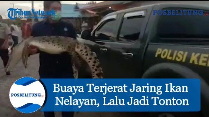 Buaya Muara Terjerat Jaring Nelayan, Jadi Tontonan Warga