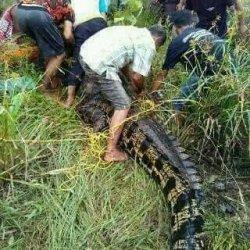 Video Warga Aceh Tangkap Buaya Seberat Hampir 1 Ton