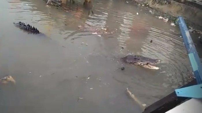 Video Penampakan Buaya di Pelabuhan Gantung Viral! Warganet Jadi Ngeri Lihat Ukurannya