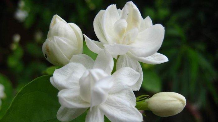 Tanam Lima Bunga Ini Selain Cantik Dan Indah Dipercaya Membawa Keberuntungan Bagi Penanamnya Pos Belitung