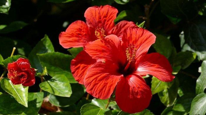 Daun Bunga Sepatu Bisa Mengobati Flu dan Pilek, Begini Cara Memanfaatkannya
