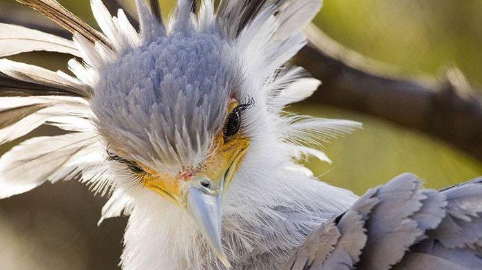 Mengenal Burung Sekretaris, Burung Cantik yang Bulu Matanya Lentik