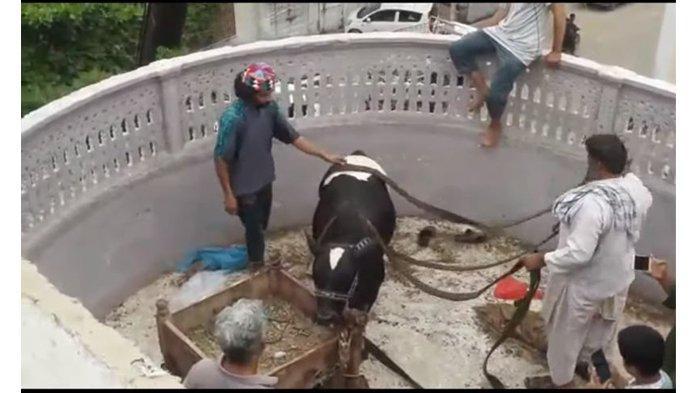 Unik, Sapi di Negara ini Dipelihara di Atas Bumbung Bangunan, Diturunkan Saat Hari Raya Haji