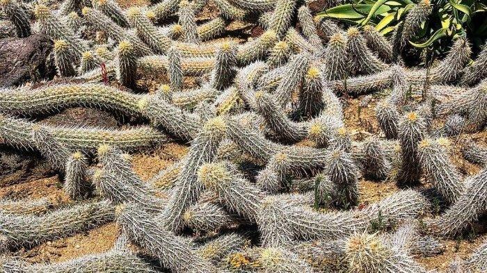 Inilah Creeping Devil, Kaktus Paling Aneh di Dunia yang Bisa Bergerak Sendiri