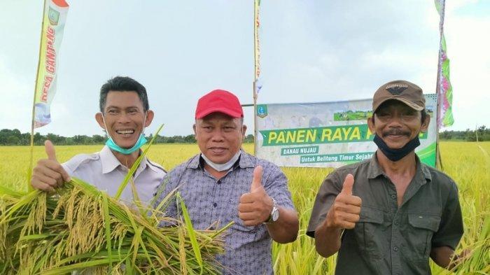 Belitung Timur Memasuki Musim Panen Padi, Hasil Masih di Bawah Target