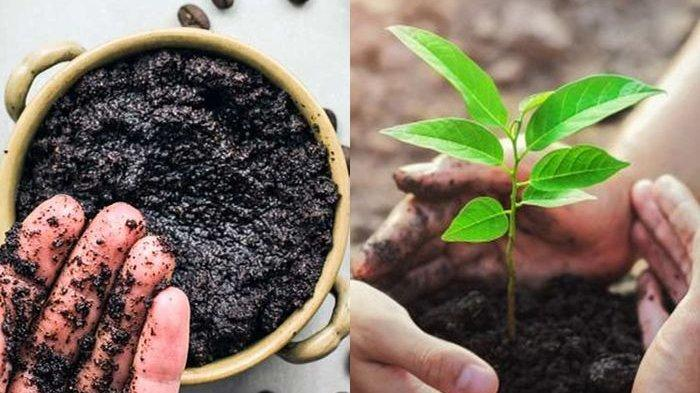 dengan-menggunakan-ampas-kopi-tanaman-akan-tumbuh-subur-dan-berkembang-lebih-cepat.jpg