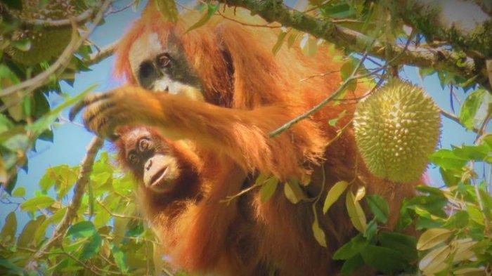 Ternyata  Orangutan Tapanuli di Batang Toru Suka Makan Durian dan Petai
