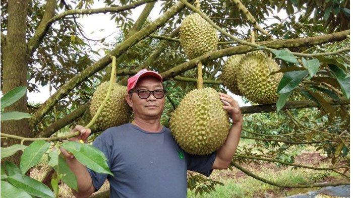 Buahnya Masih di Atas Pohon, Durian 'Raksasa' 18 Kg Ini Dilelang Seharga Rp 31 Juta