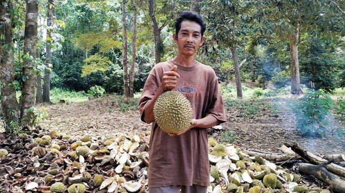 Serunya Makan Durian di Kebun Milik Safari di Desa Suak Gual Belitung, Manis Legitnya si Raja Buah