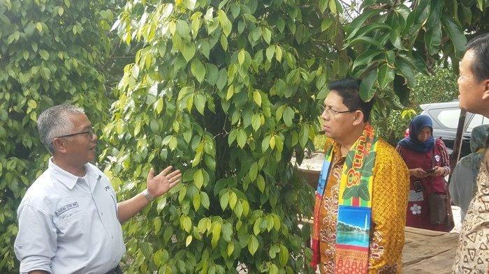 Dinas Ketahanan Pangan dan Pertanian Belitung, Rencanakan Lakukan Peremajaan Perkebunan Lada