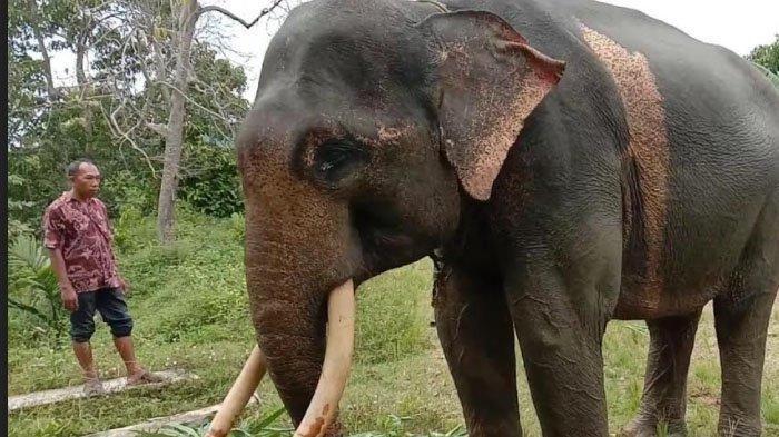 Aksi Heroik Gajah Jinak Ini Selamatkan Asisten Pawang dari Serangan Gajah Liar