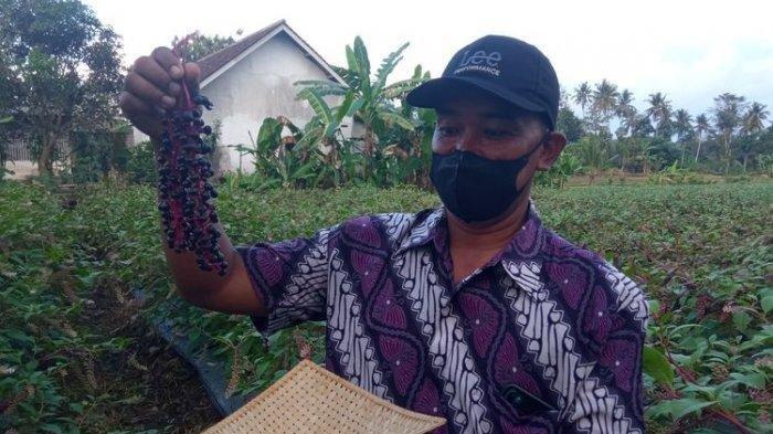 Ginseng Merah Asal Korea Tumbuh Subur di Banyuwangi, Pembudi Daya Ini Diprediksi Kaya Raya