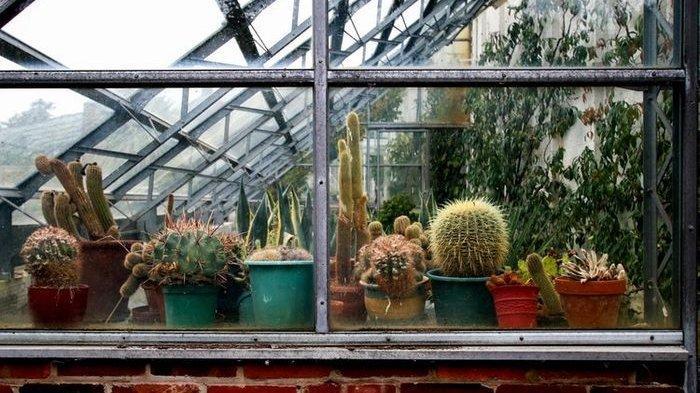 Cara Mengatasi Tanaman Kaktus Tiba-tiba Lembek dan Busuk