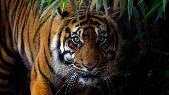 Ilustrasi harimau sumatera