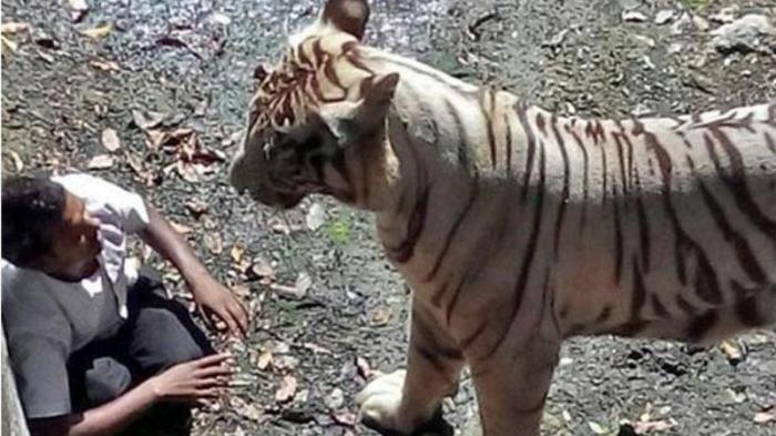 Sinaga Bentak Harimau dari Jarak 3 Meter, Langsung Kabur Usai Mangsa Seekor Kambingnya di Kandang