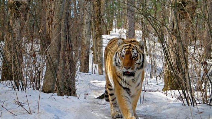 Arti Mimpi Dikejar Harimau Putih Bersiap Didatangi Cewek Cantik, Harimau Hitam Tanda Persekongkolan