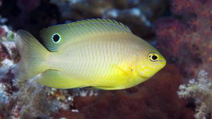 Ikan Betok Ambon Bisa Nyanyi 'Lagu Cinta' lho, Ini Penjelasannya