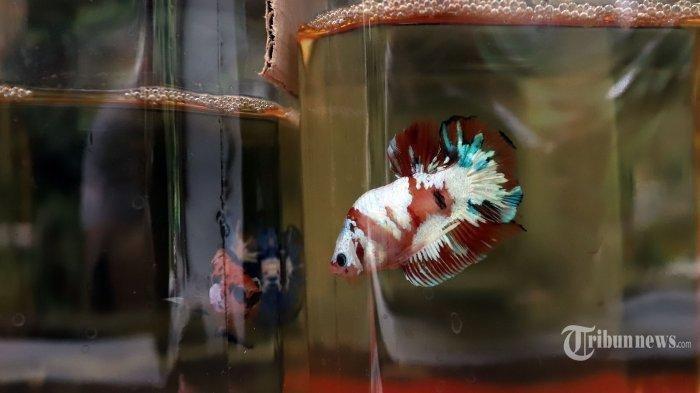 Perhatikan Empat Hal Ini untuk Mengetahui Ikan Cupang sedang Bahagia