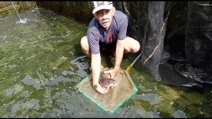 Dikeramatkan, Harga Ikan yang Ini Bisa Capai Rp 1 Juta per Kilogram, Banyak Terdapat di Kuningan