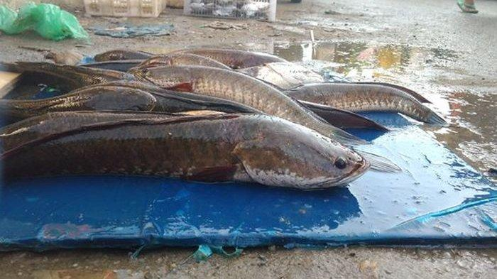 Jangan Lagi Menolak Ikan Gabus, Bisa Sembuhkan Luka Diabetes Dengan Cepat!