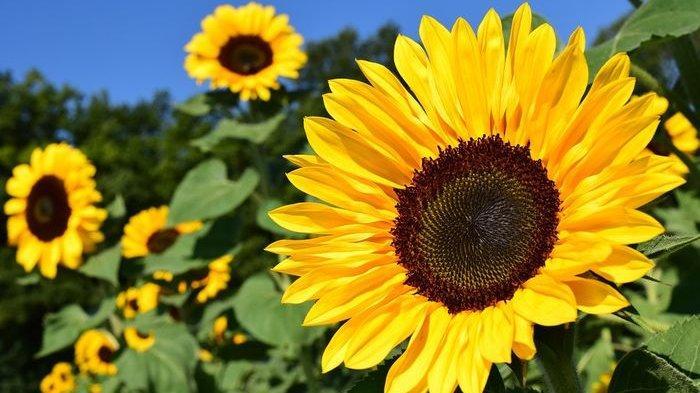 Deretan Fakta Unik Bunga Matahari, Pernah Jadi Sumber Makanan hingga Dianggap Sebagai Tanaman Suci