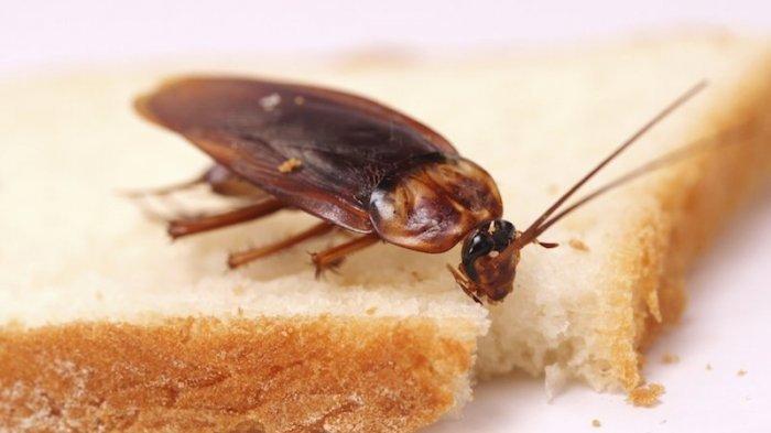 Agar Rumah Bebas dari Ancaman Kecoa, Serangga Pembawa Jutaan Bakteri Pemicu Penyakit
