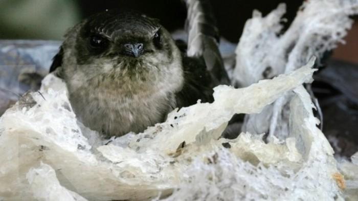 Banyak yang Lolos, Pemkab Belitung Kejar Pajak Pengiriman Sarang Burung Walet, Potensi Capai Rp 5 M