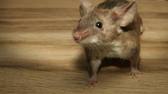 Tanaman dan Rempah Ini Bisa Mencegah Tikus Berkeliaran dan Masuk ke Rumahmu, Yuk Simak!