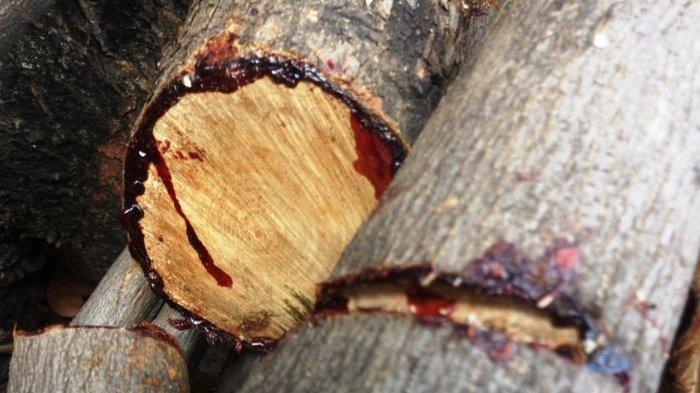 Pohon ini Bisa Berdarah Jika Terluka? Simak Penjelasannya
