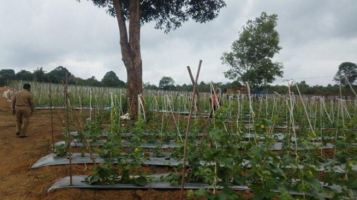 Sanem Sanjung Hasil Kebun Melon Milik Candra Iswadi, Dinilai Jadi Inovasi Perkebunan di Belitung