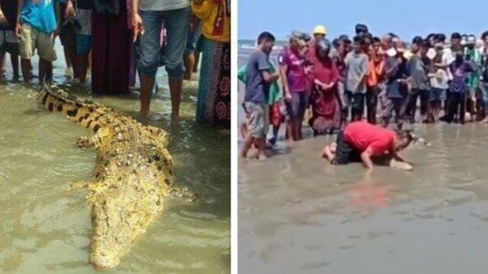 Saking Jinaknya, Buaya Coklat Keemasan Ini Dielus dan Dicium Warga saat Muncul di Tepi Pantai