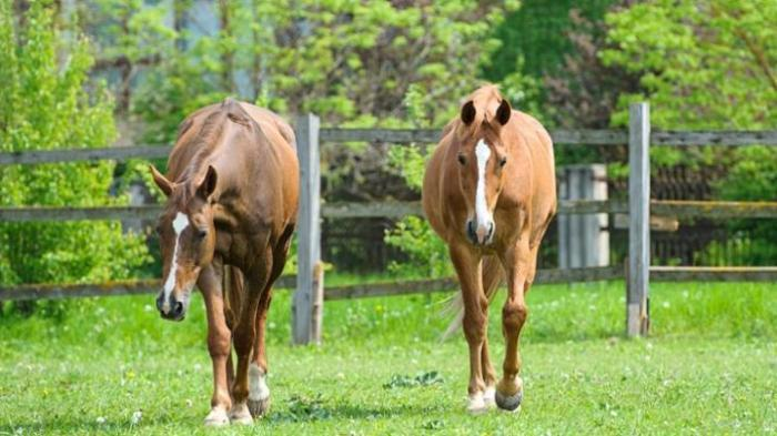 Seekor Kuda Dieksekusi Mati Karena Homo