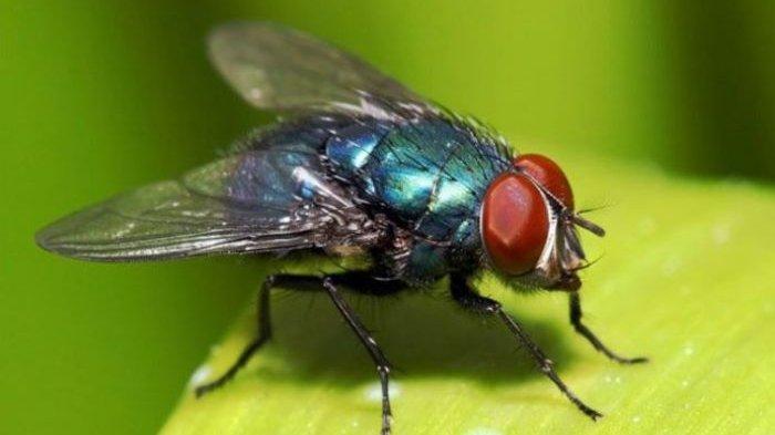 Bagaimana Cara Mengusir Lalat, Aman Tanpa Racun Cukup Gunakan 3 Bahan Alami Ini