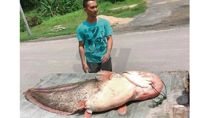 Lele Raksasa Tangkapan Nelayan Ini Hebohkan Warga, Apa Rasanya Ketika Dimakan?