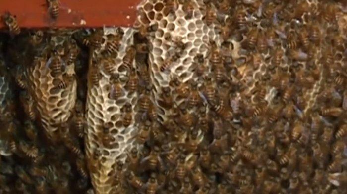 VIDEO: Woow Selama 12 Tahun Keluarga Ini Hidup Bersama Lebah di Ruang Keluarga, Ini Yang Terjadi