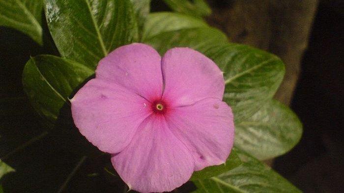 Bunga Tapak Dara Cegah Kanker, Leukemia Hingga Obat Alami Darah Tinggi!