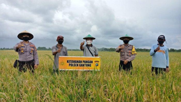 Petani Sawah Danau Nujau dan Polsek Gantung Panen 4 Ton, Dukung Ketahanan Pangan