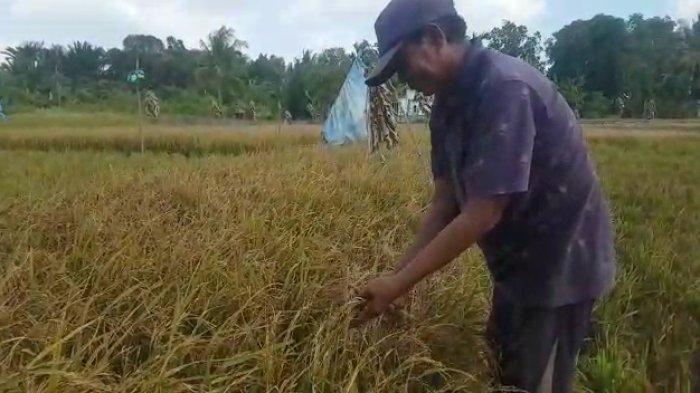 Kondisi Mulai Mengkhawatirkan, DPR Desak Pemerintah Beli Gabah Petani