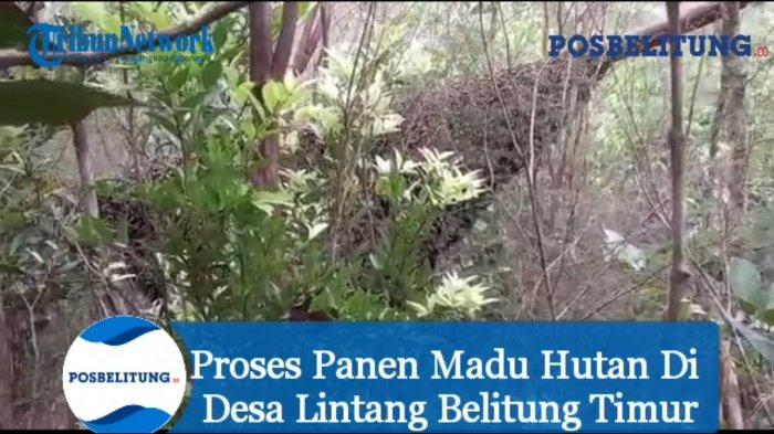 Video - Proses Panen Madu Hutan Di Desa Lintang Belitung Timur