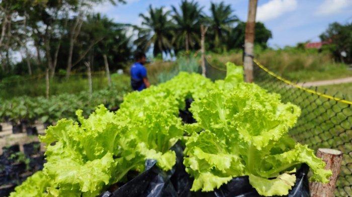 Kreatifnya Ibu-ibu Air Merbau Manfaatkan Pekarangan Rumah Bertanam Sayur