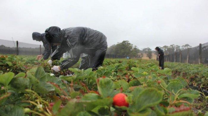 Lowongan Kerja di Australia Butuh 7.000 Orang, Upah Rp1 Miliar Panen Stroberi, Begini Cara Daftarnya
