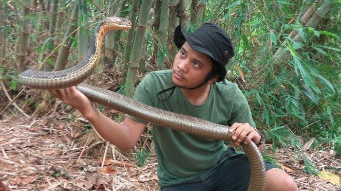 Tak Kapok Digigit King Cobra, Panji Petualang Lakukan ini Pada Ularnya