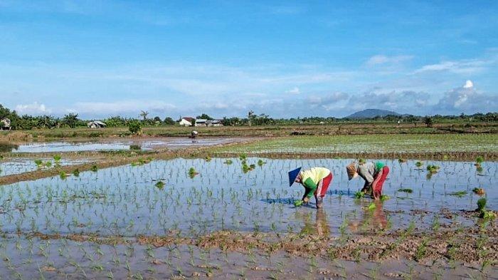 Petani di Desa Gantung menanam bibit padi di lahan sawahnya. (25/1/2020)