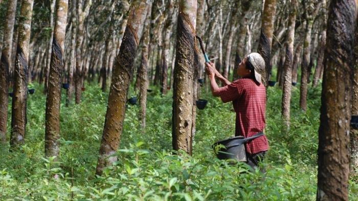 Petani Karet di Belitung Banyak Beralih dan Membiarkan Lahannya, Ini Penyebabnya