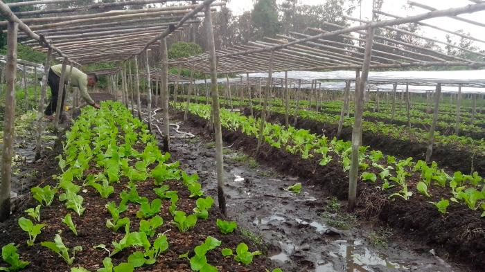 Sawi Bebute Penuhi Pasokan Pasar Tanjungpandan dan Belitung Timur