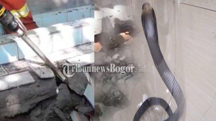 Misteri Puluhan Ular Kobra di Bogor Hingga Petugas Damkar Bongkar Makam Warga, Lalu Temukan Hal Ini