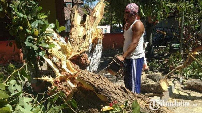 Pohon 7 Meter Roboh Ditiup Angin Kencang, Tak Ada Korban Jiwa dalam Insiden Ini
