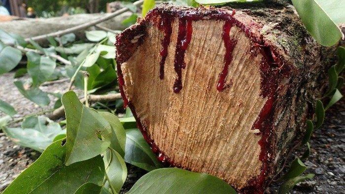 Berdaun Rindang, Pohon Ini Mengeluarkan Darah Saat Ditebang, Ternyata ini Penyebabnya