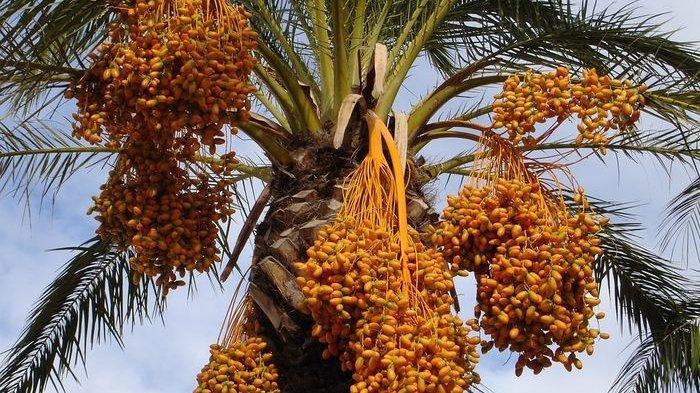 Pohon Kurma Bisa Dibudidayakan di Indonesia, Ini Perbedaannya dengan Pohon Kurma di Timur Tengah